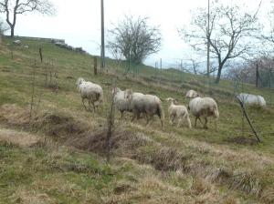 Pecore al pascolo a Mezzomonte