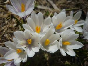 Gruppo di fiori di erba Trinità