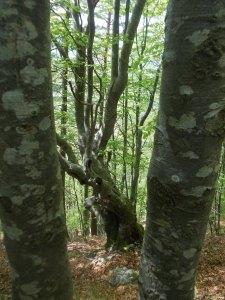 Meravigliosi boschi di faggio