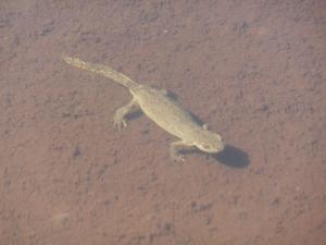 Giovane salamandra