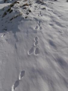 Impronte di lepre