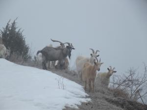 Le capre che abitano la zona