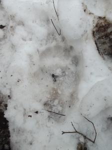 Impronta di orso
