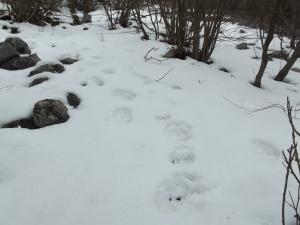 Impronte di orso