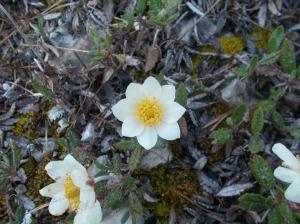 Anemone a fiori di Narciso