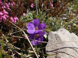 Polmonaria Sudalpina viola