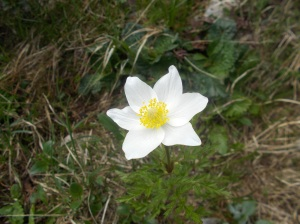 Anemone a fior di Narciso