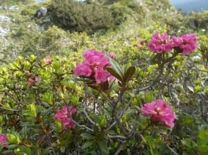 Rododendro Ferrugineo