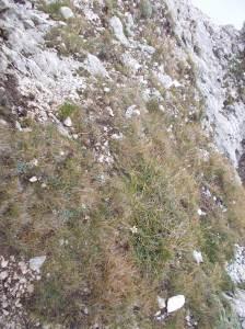 Stelle Alpine sul verde pendio molto scosceso