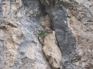 """Raponzolo di roccia """"sbiadito"""""""