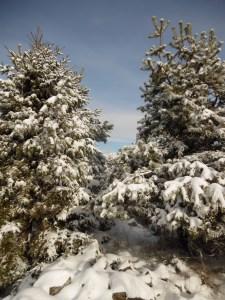 Fra gli alberi innevati, la Civetta