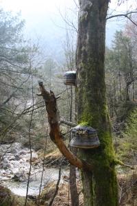 Grossi funghi lignicoli