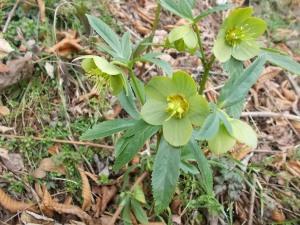 Elleboro Verde, pianta velenosa che fiorisce fra febbraio e aprile sulle PreAlpi