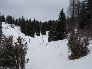 Conifere fra casera Busa Bernart e il Col dei S'Cios