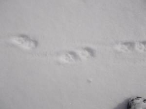 A lei non riesco a farle la foto perché appena la vedo scappa veloce, ma alle sue tracce si (impronte di volpe)