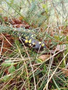 Una delle tante salamandre trovate lungo il cammino