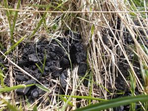 Carbonaia che affiora fra l'erba