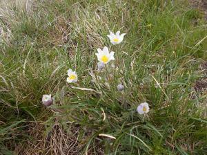 Anemoni a fiore di Narciso