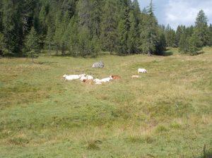 Si parte da Passo Tre Croci sopra cortina, dove le vacche stanno in svacco